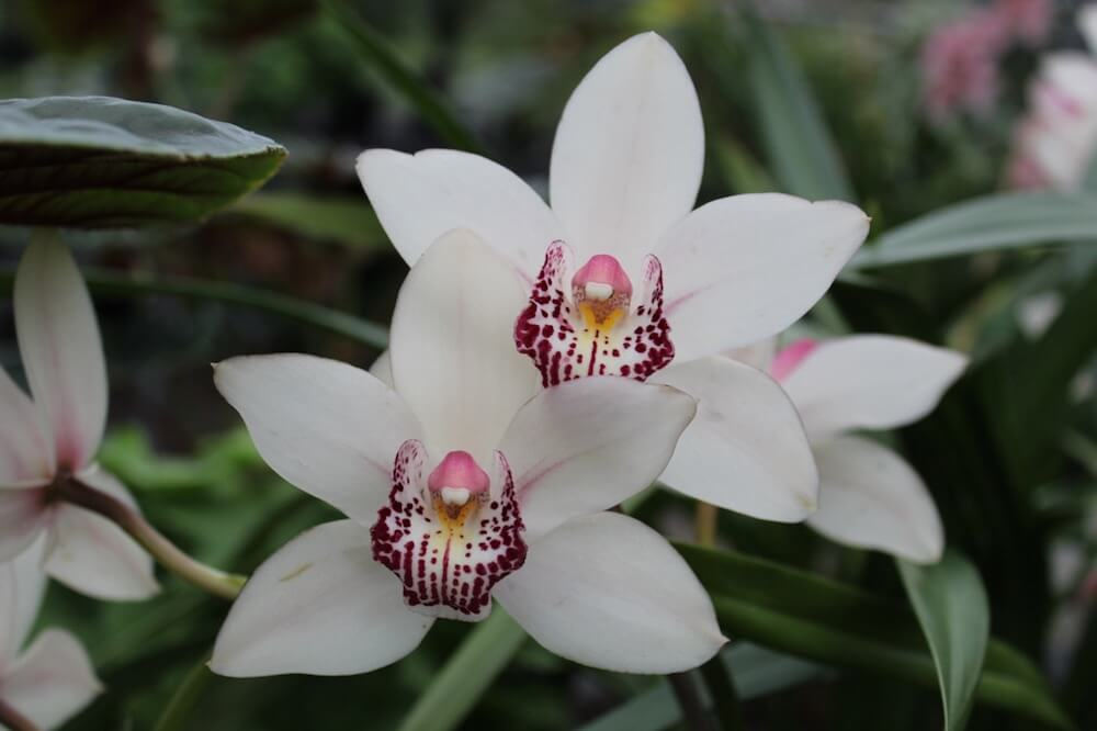 White orchids with pink centres