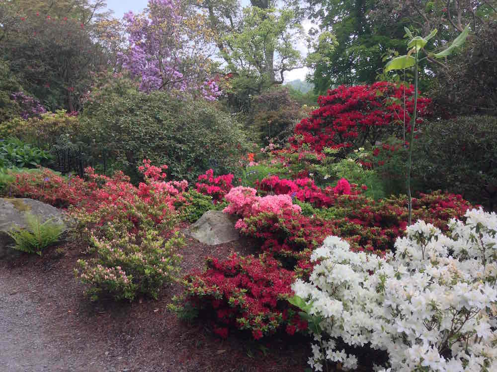 A collection of Rhododendrons in Spring