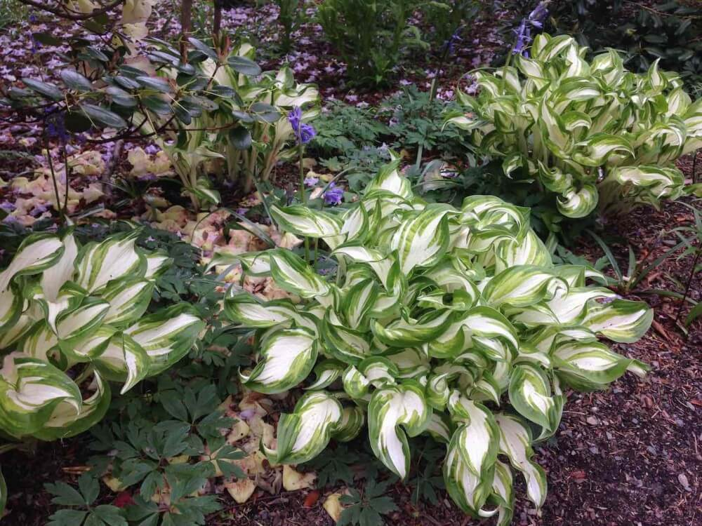 Hostas in a shady garden bed
