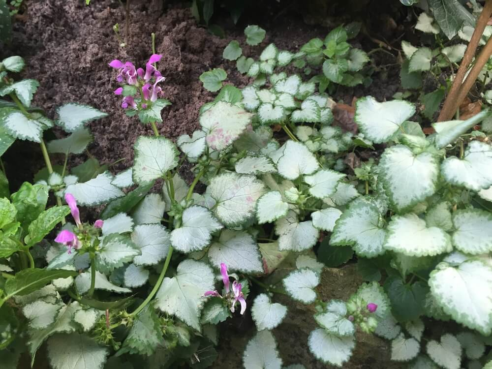 Lamium in a shaded garden bed