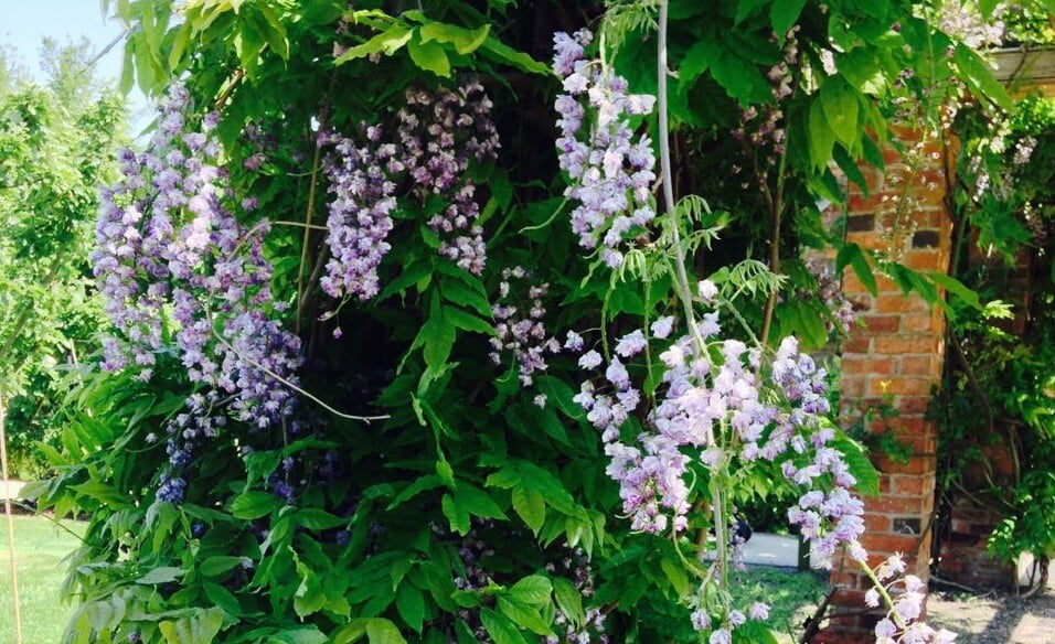 Wisteria hanging from a garden