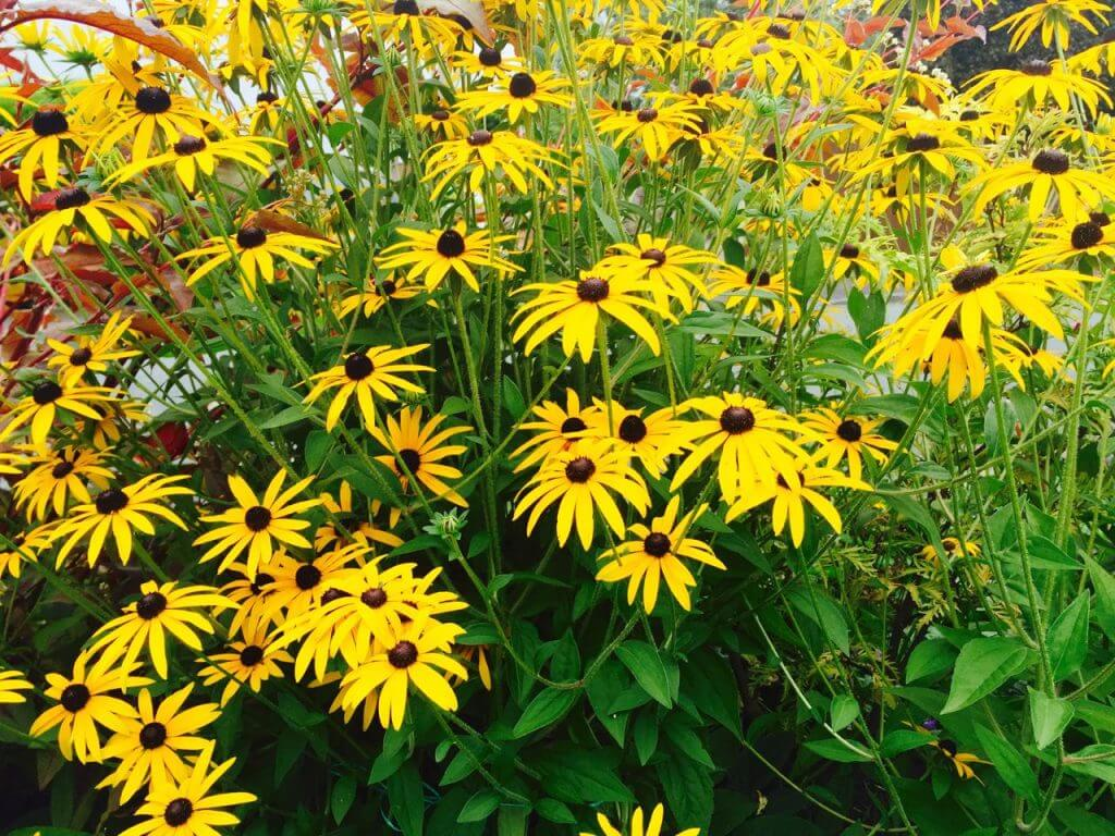 Rudbeckia hirta bright yellow flowers