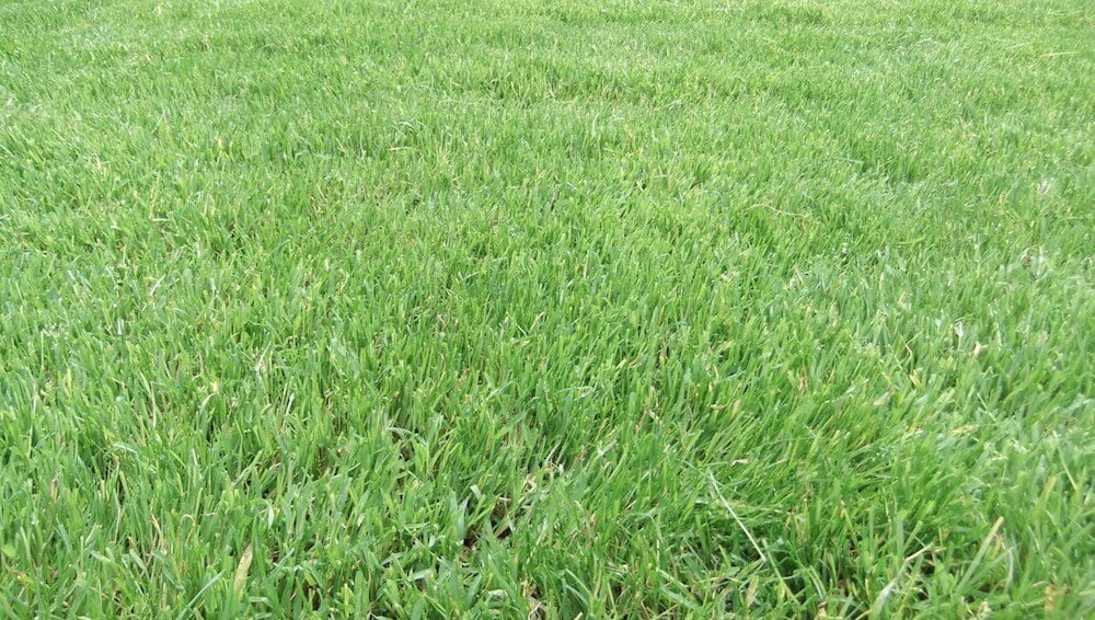 A close up of lawn turf
