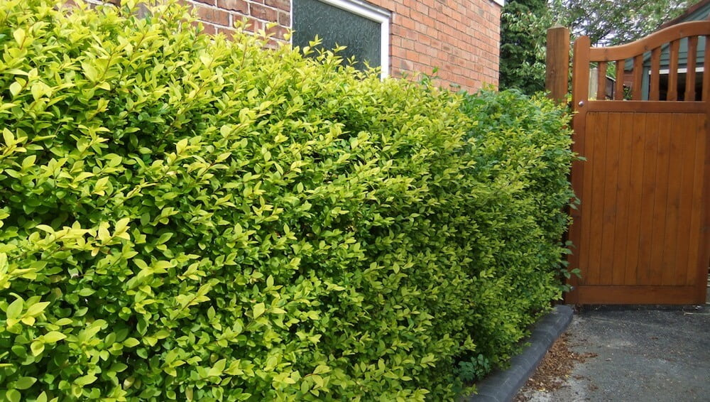 A golden privet hedge