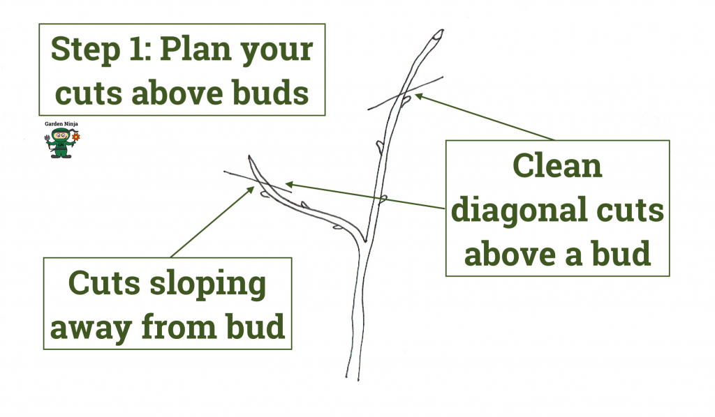Planning pruning cuts on a apple tree