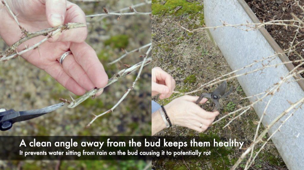Making cuts on a gooseberry shrub