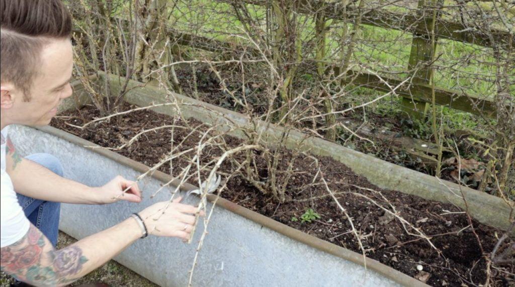 Gooseberries being pruned