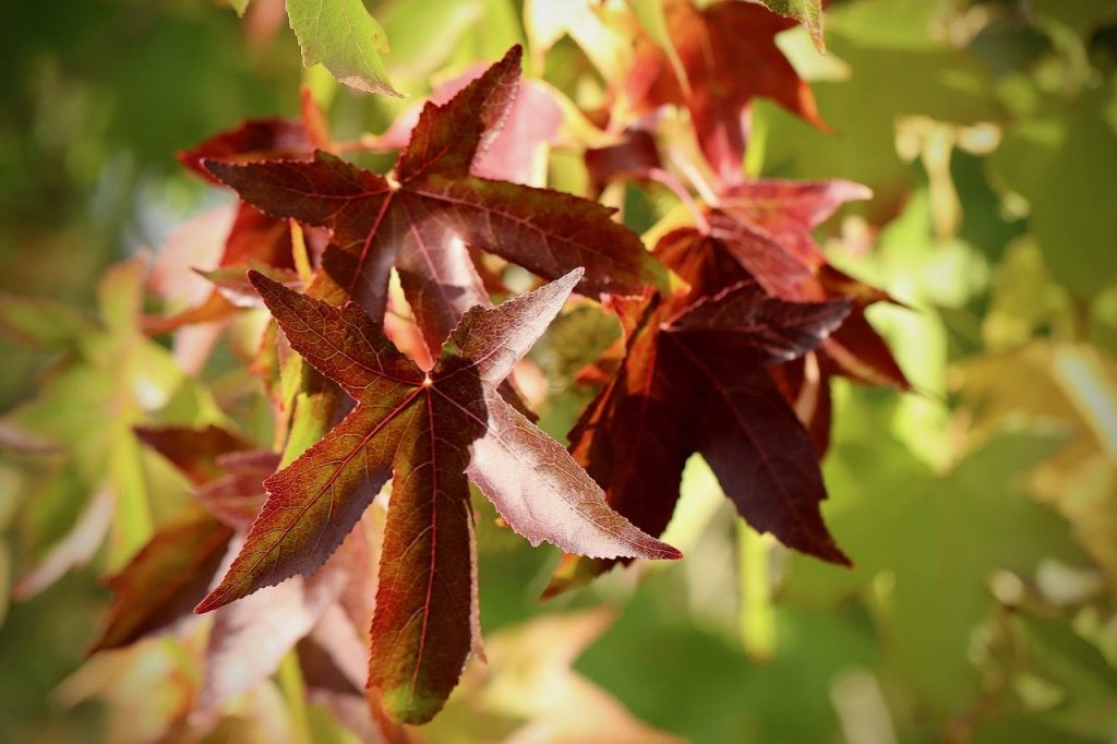 Red leaves on a liquidamber