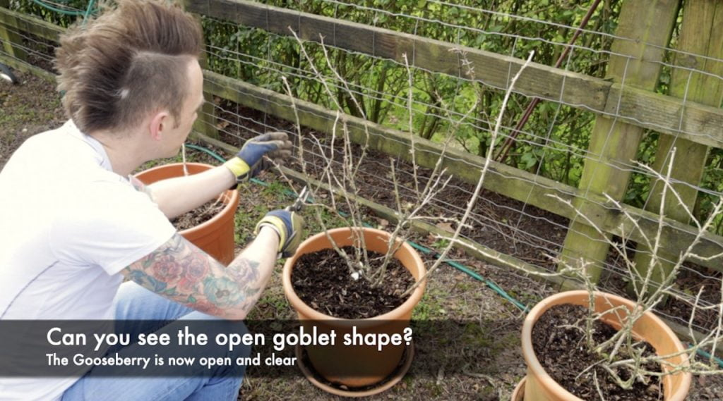 Open goblet pruning of a gooseberry bush