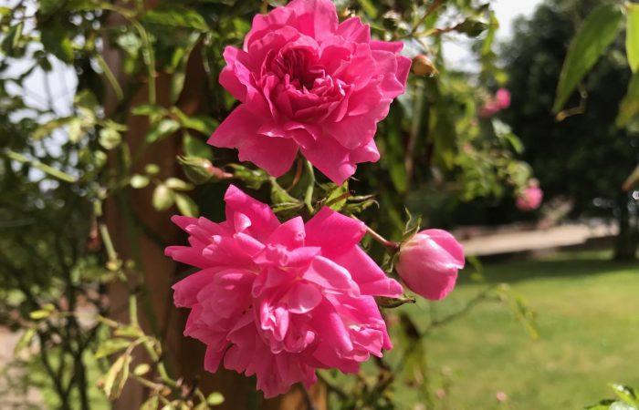 A pink climbing rose at Garden Ninja