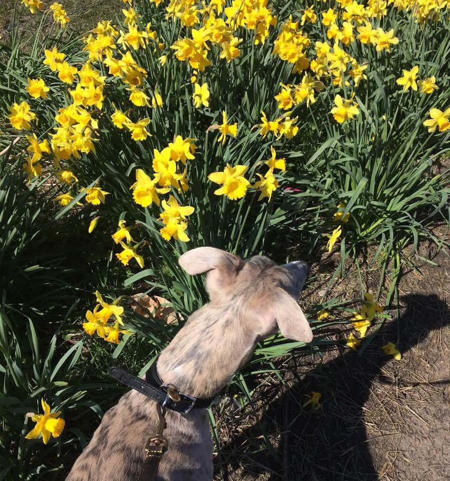 A whippet looking at some daffodils