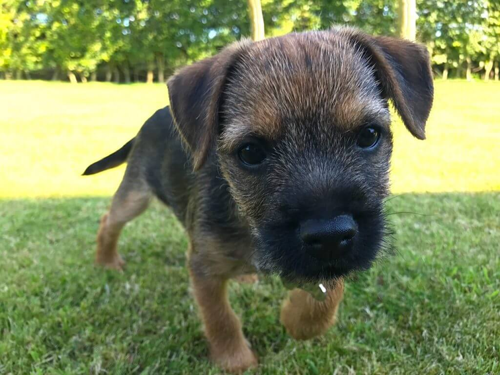 Barry the border terrier as a puppy