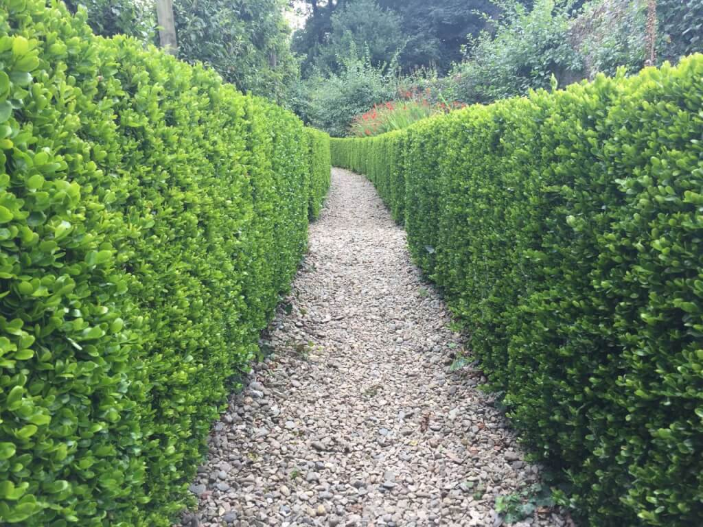 A formal clipped box hedge flanking a path