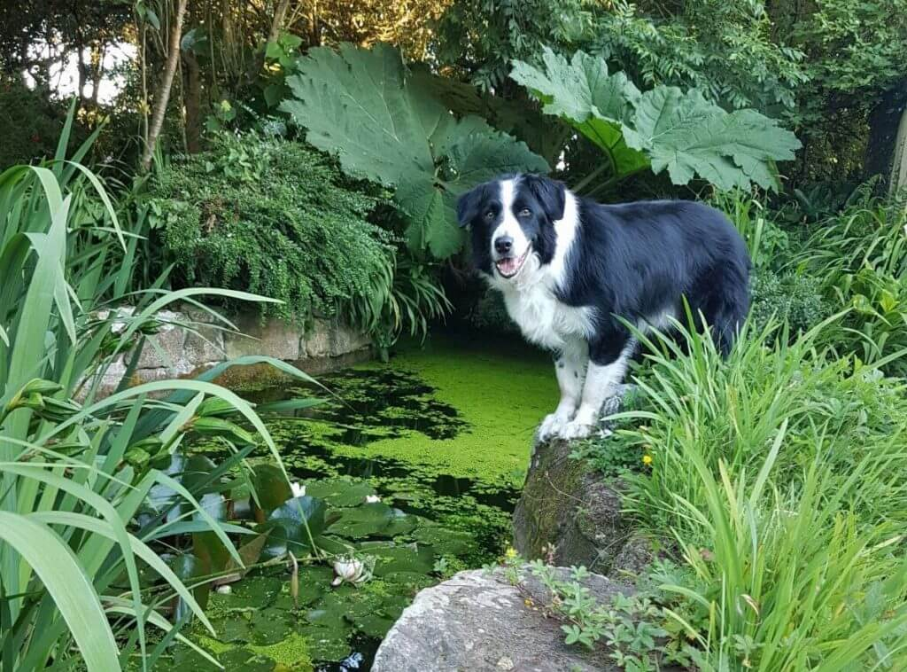 A dog at the side of a wilflife pond