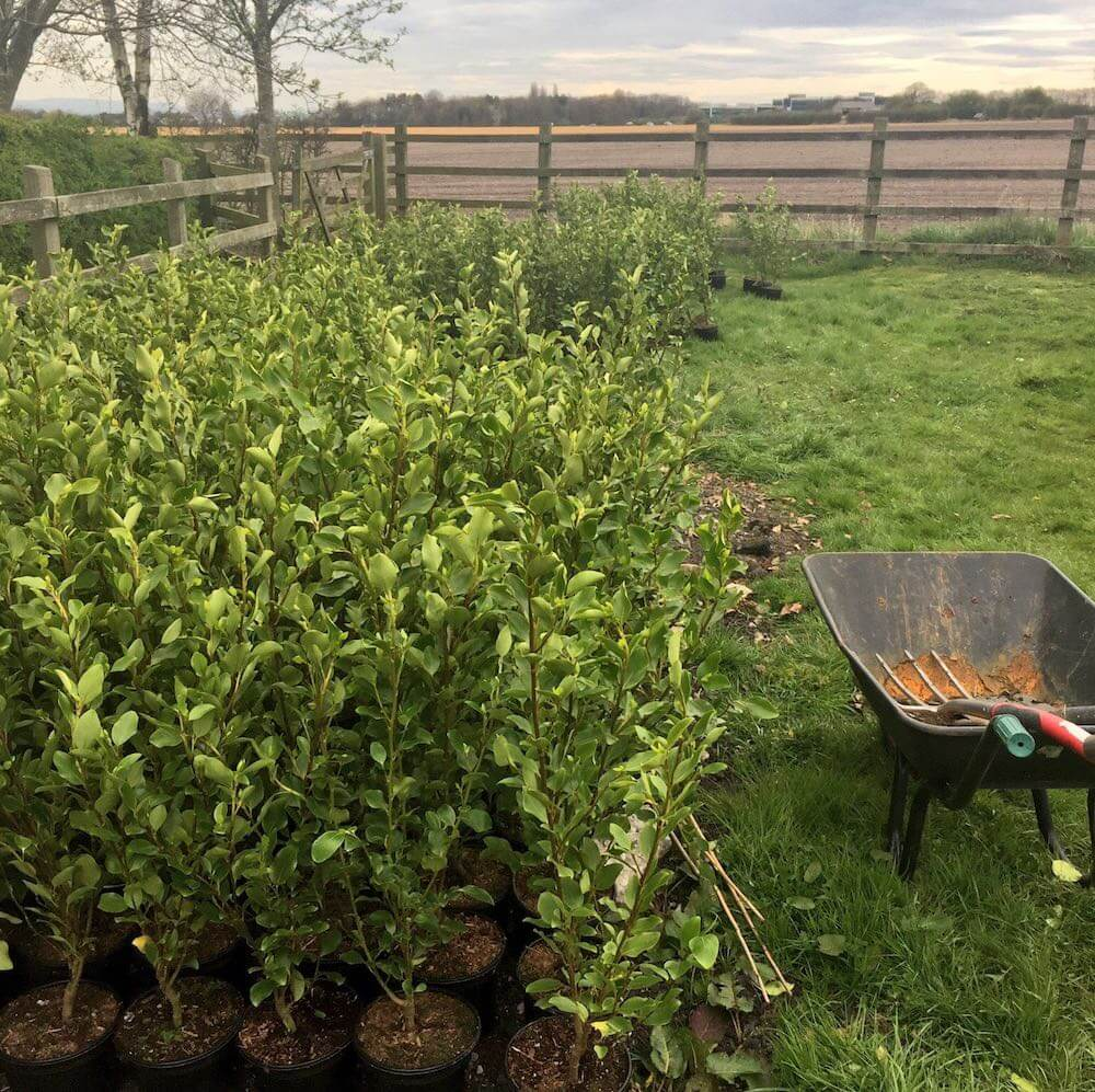Hedge plants next to a wheel barrow