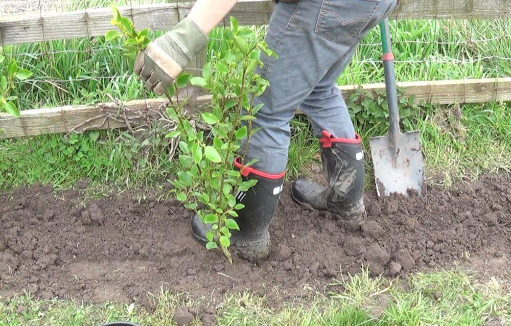 Garden Ninja planting a hedge