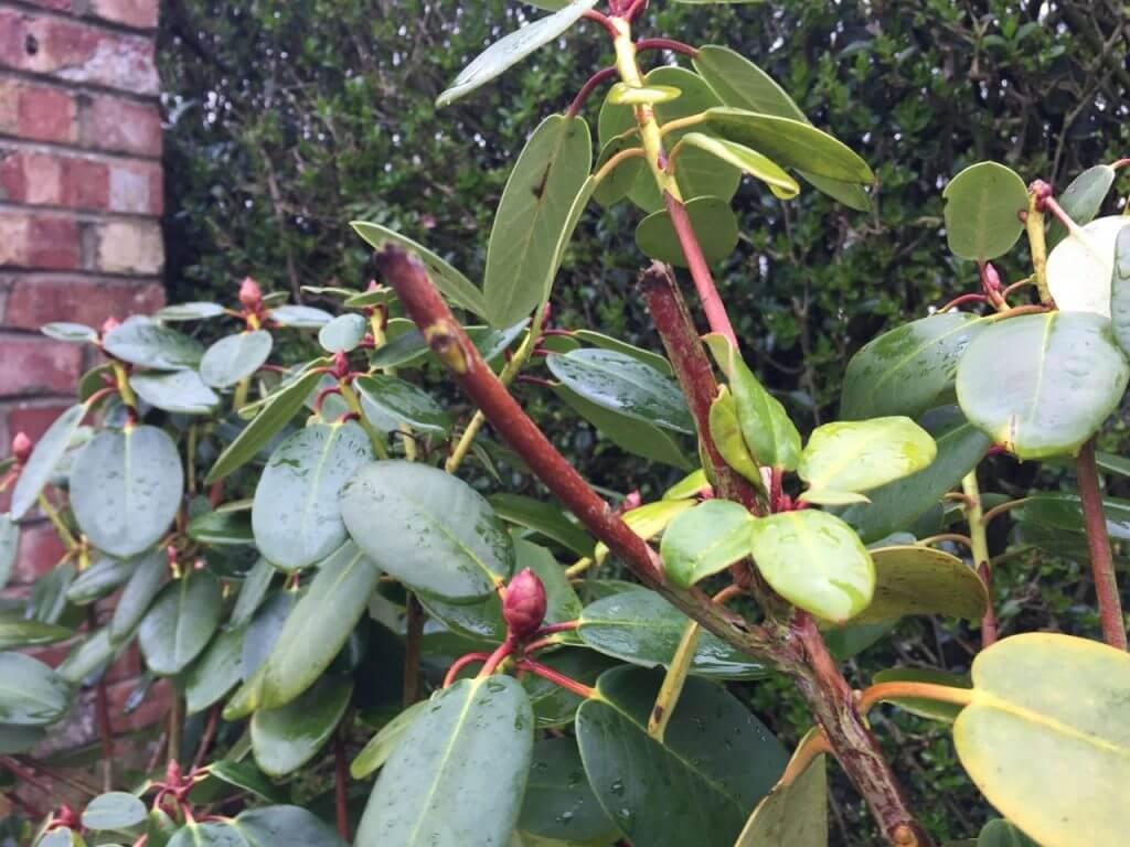 An azalea that has just been pruned