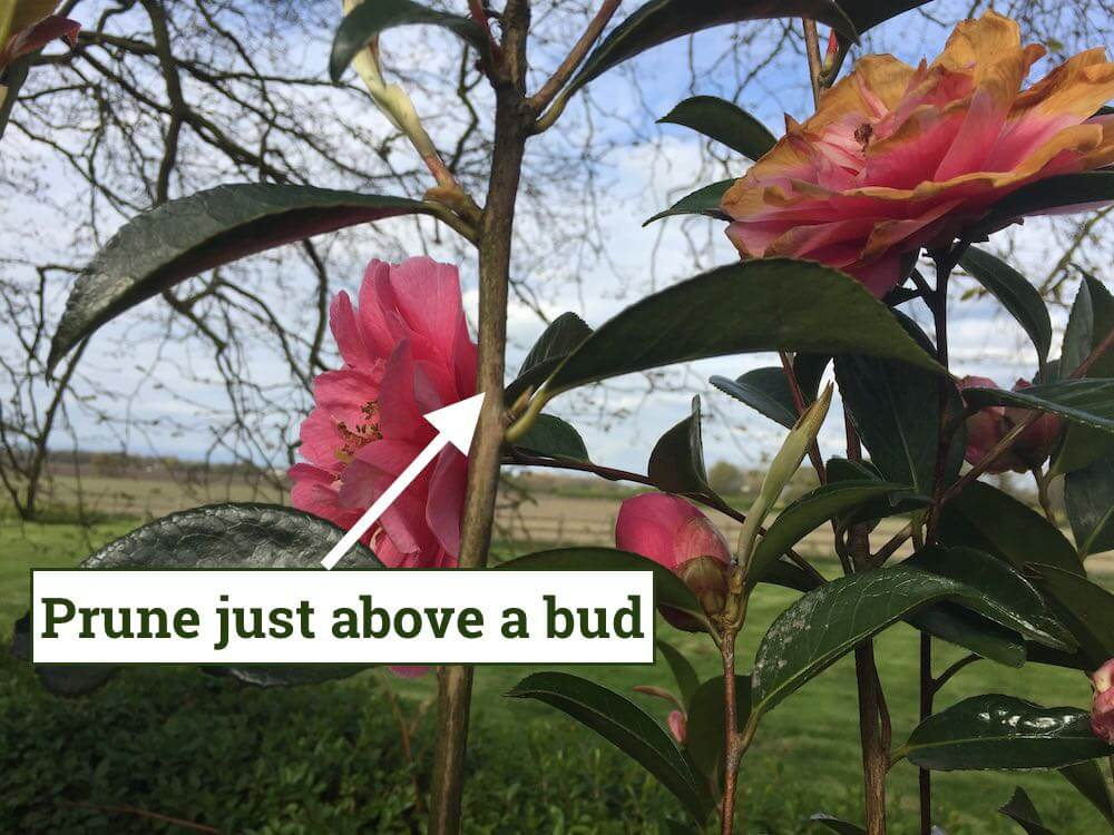 Showing how to prune a camellia shrub
