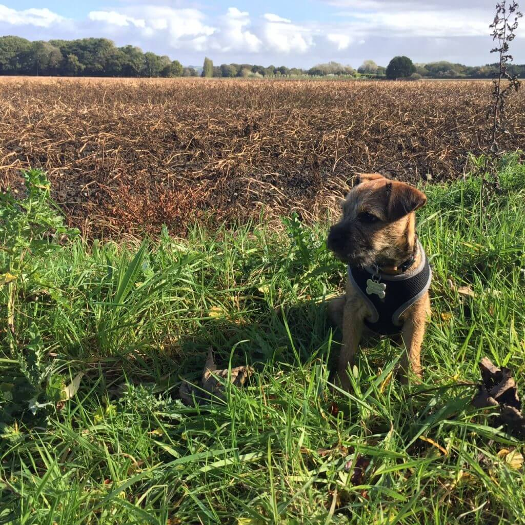 Barry the border terrier looking out over a field