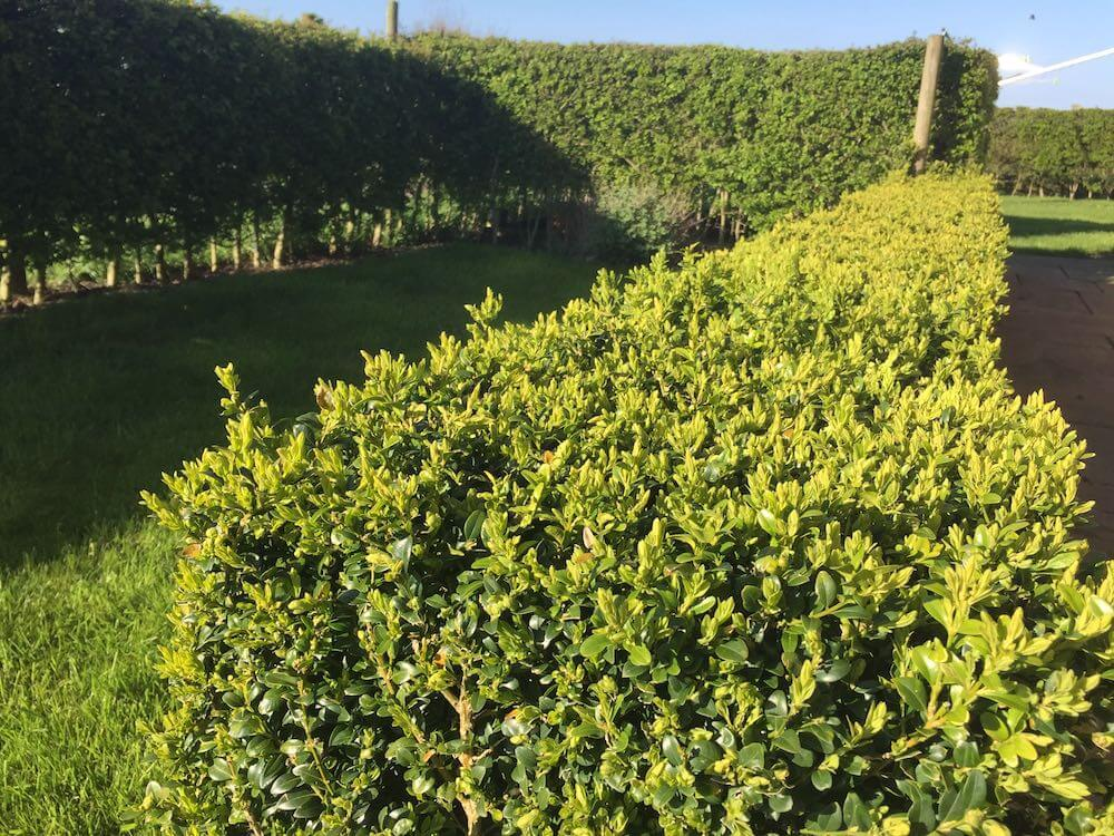A clipped box hedge next to a hawthorn hedge
