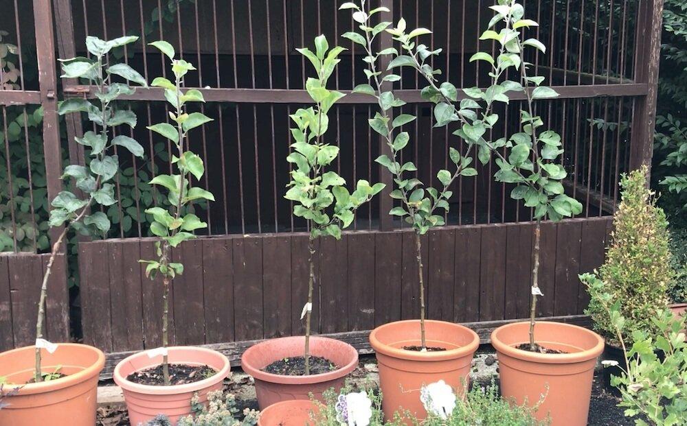 Tree grafting of apple trees