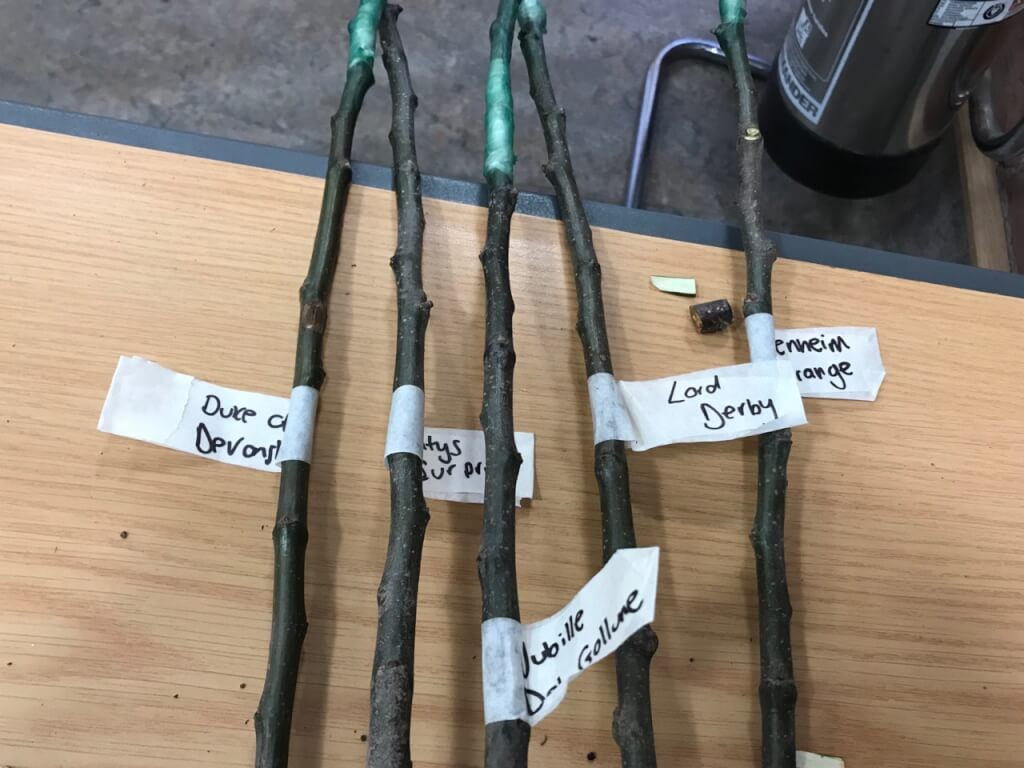 A set of grafted fruit trees labelled