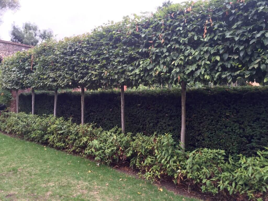 A ine of pleached trees