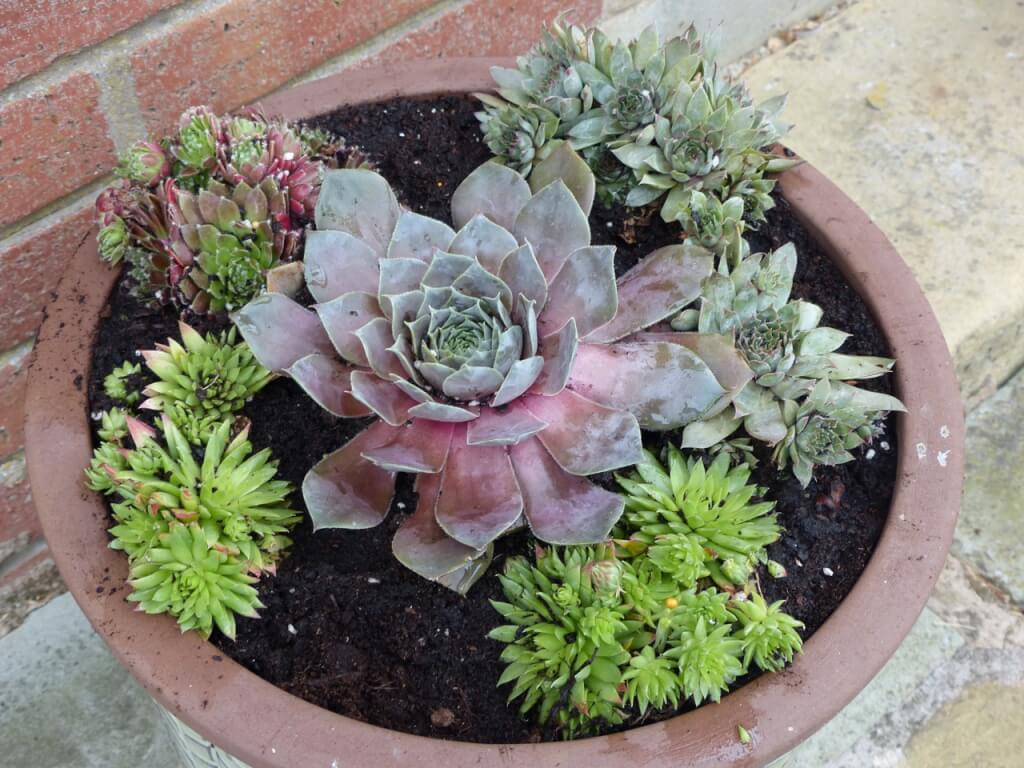 Sempervivums in a pot