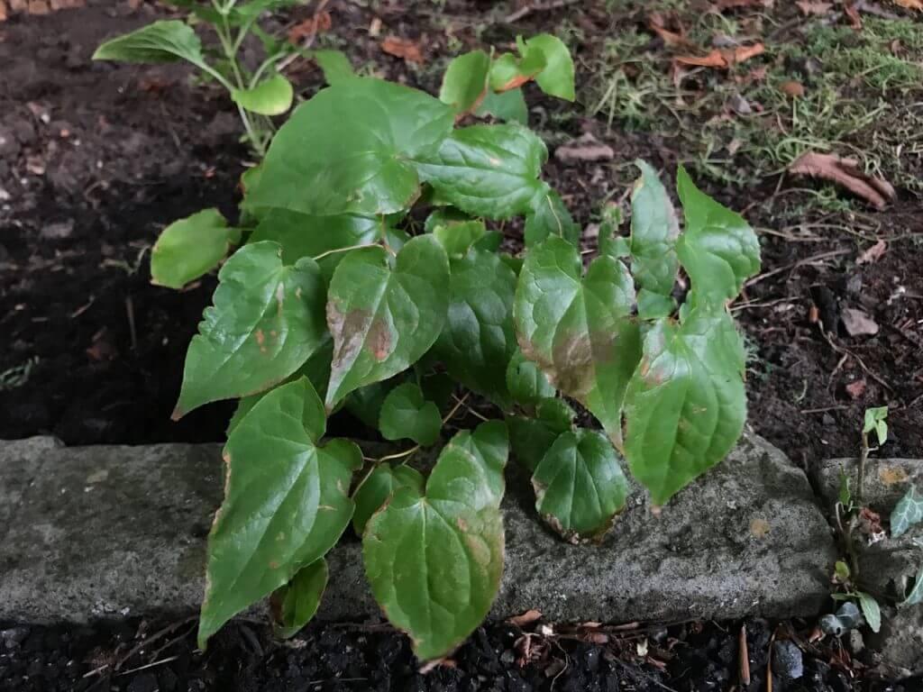 A glossy leafed Epimedium shade plant