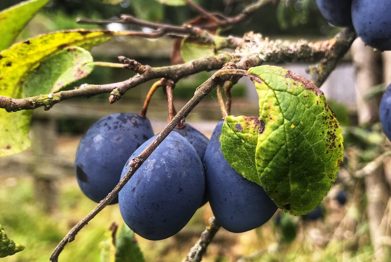 Damsons in a tree