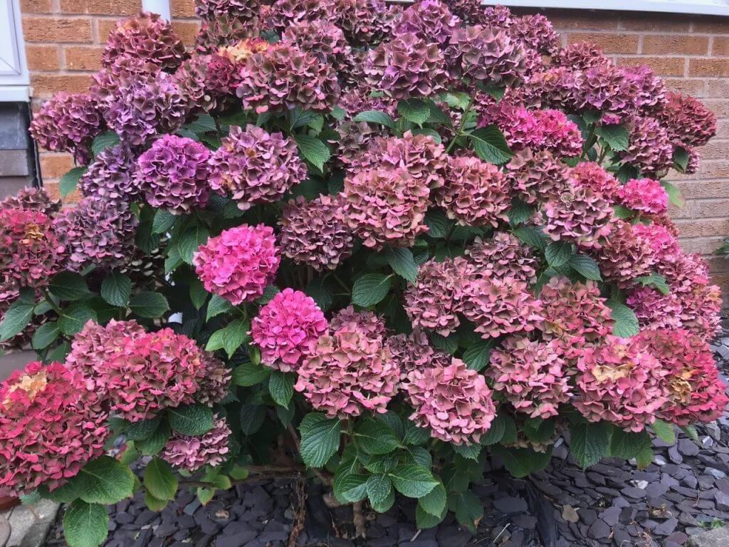 A large pink hydrangea