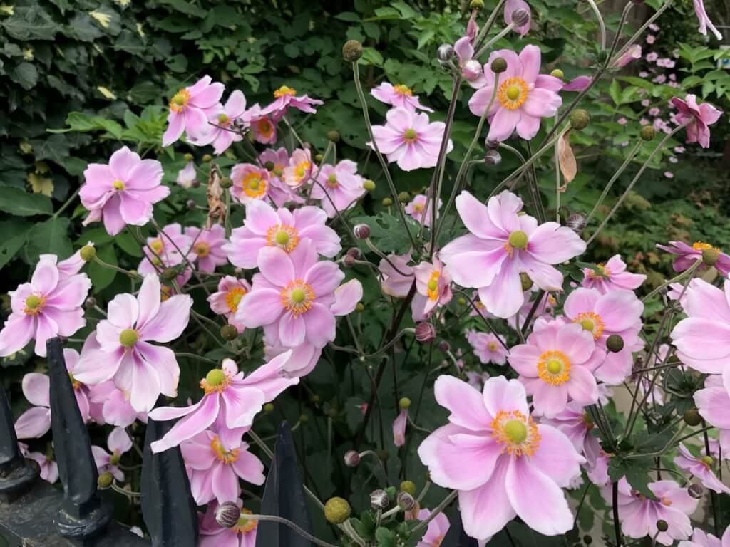 Japanese anemones in pink