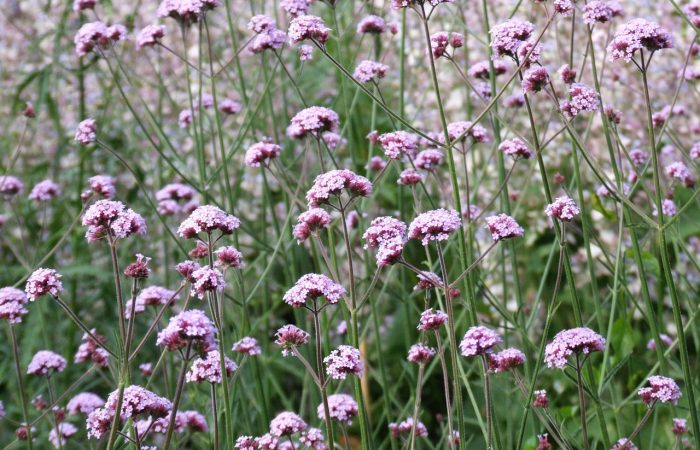 A field of Verbena
