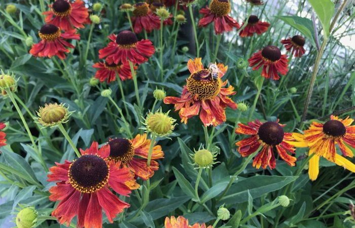 A plant bed full of Heleniums