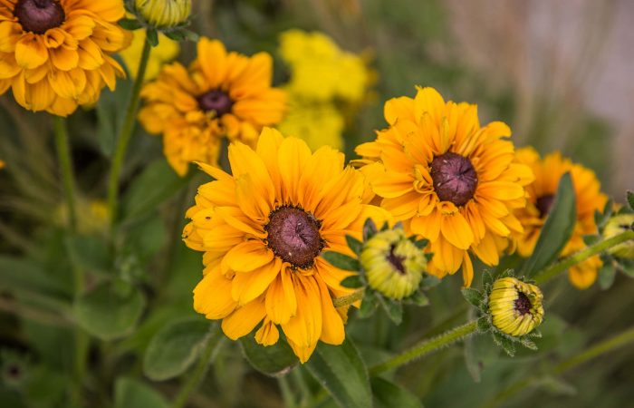A yellow Helenium flower on a show garden
