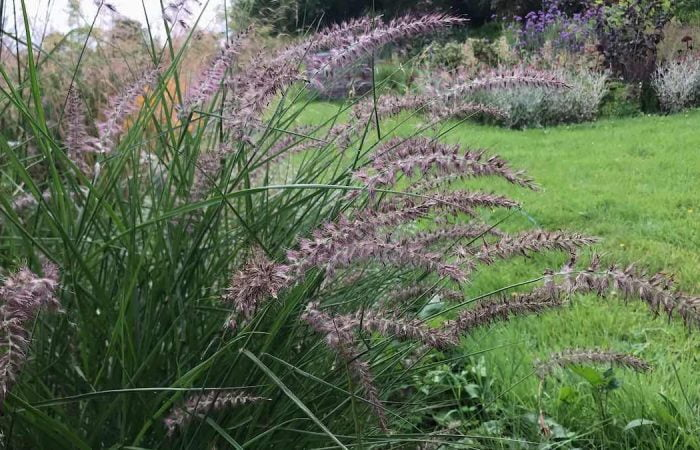 The grass Penissetum in Garden Ninjas Exploding Atom Garden