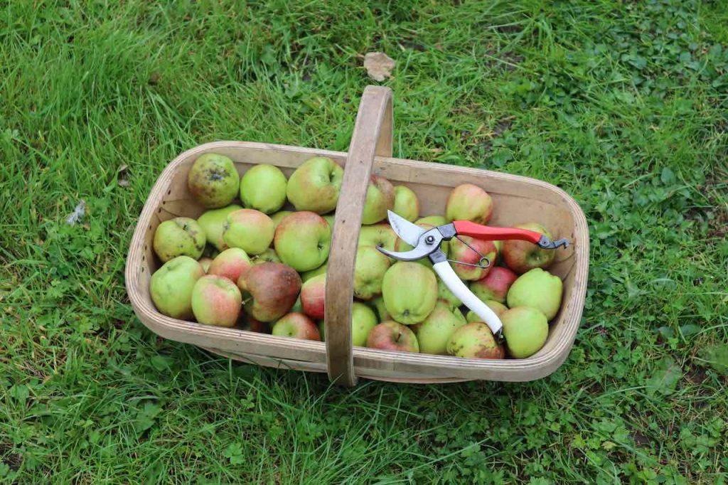A trug of fresh apples