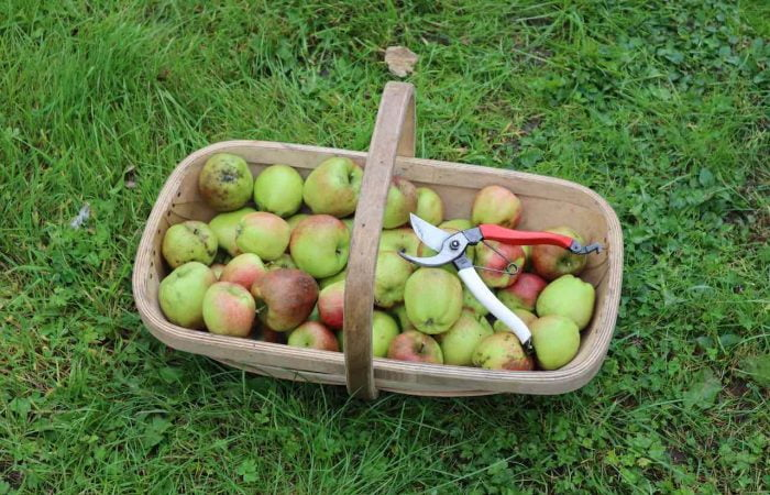 A trug of fresh apples