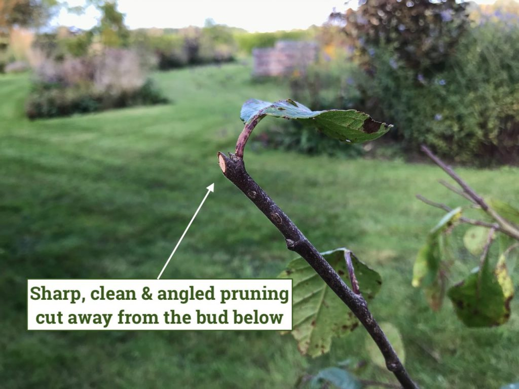 Example of a cleab angled pruning cut