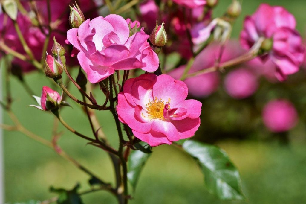 pink shrub rose in flower