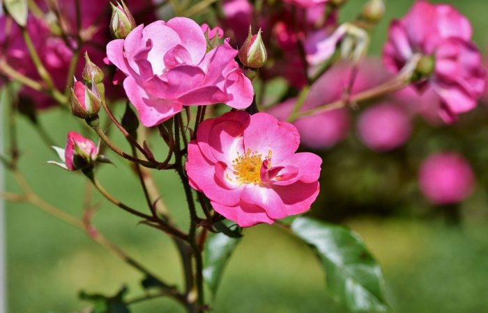 pink shrub rose in flower