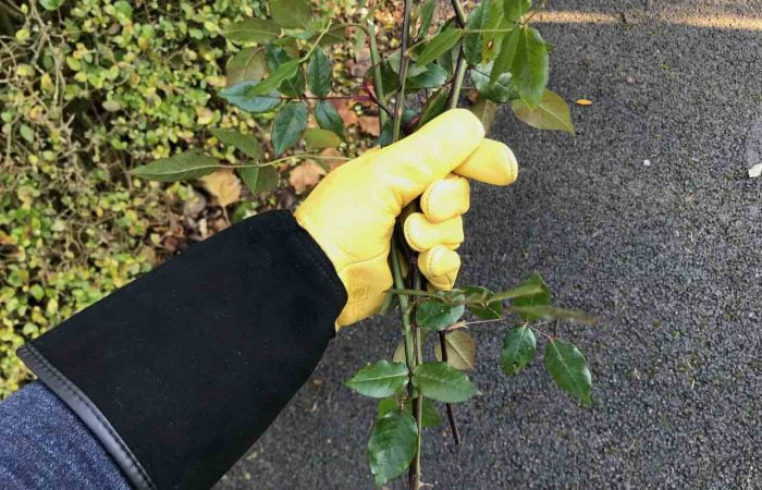 Gripping thorns with yellow gold leaf gloves