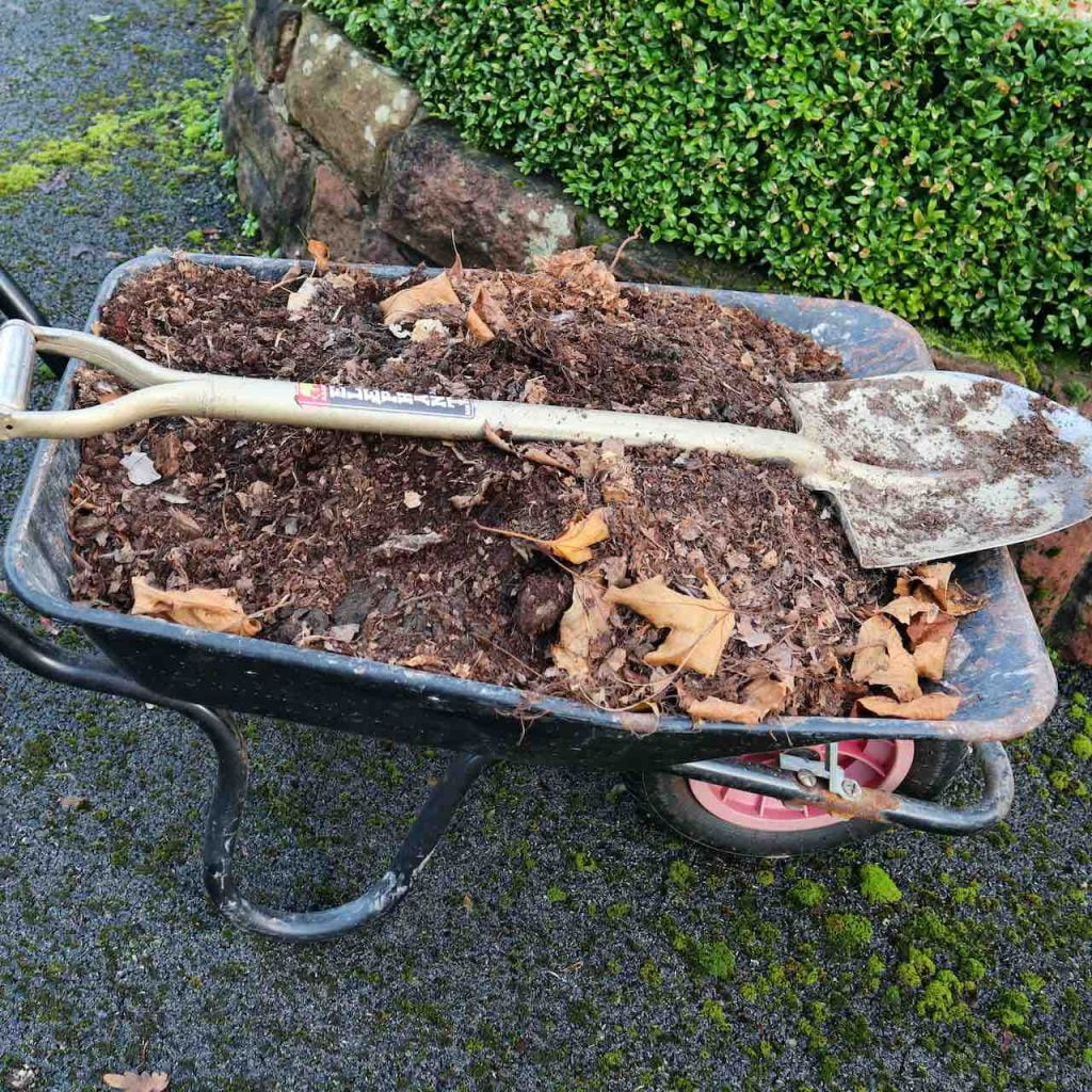 wheelbarrow full of leaf mould for winter mulching