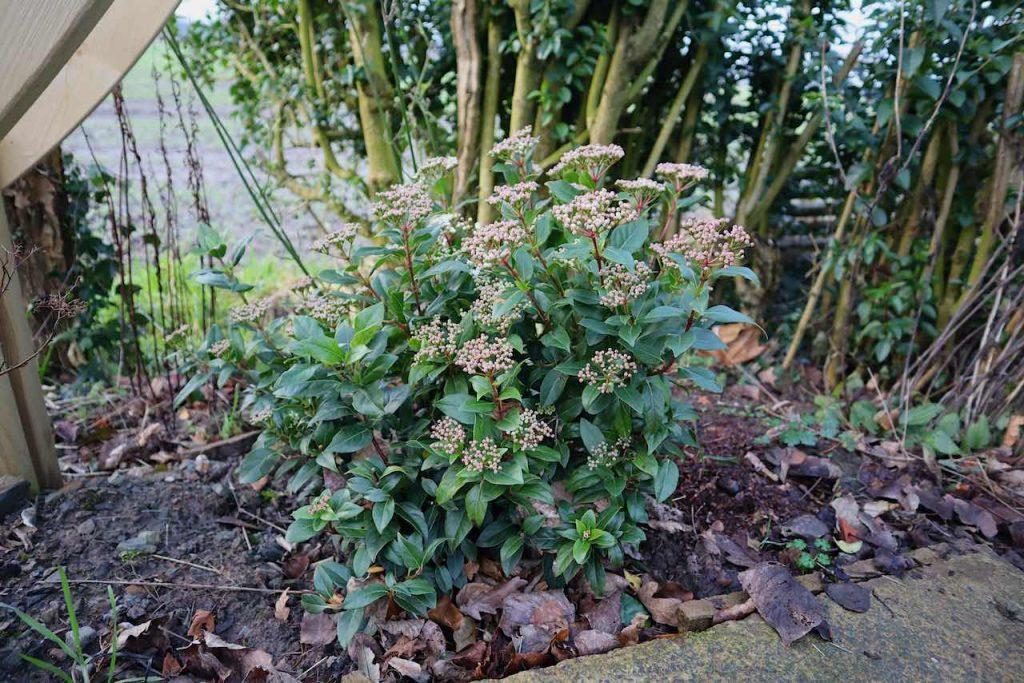 Virbunum tinus in a border