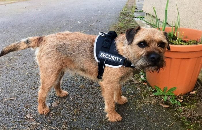Barry the border terrier in a security vest