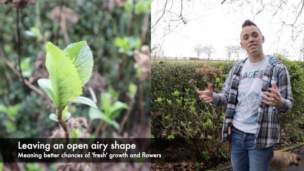 How to prune a hydrangea with garden ninja