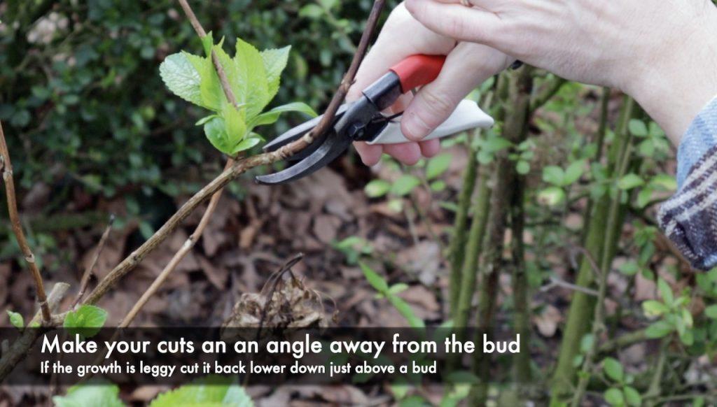 How to prune a hydrangea shrub