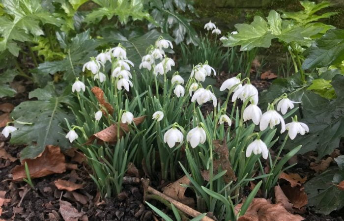 A patch of galanthus snowdrops