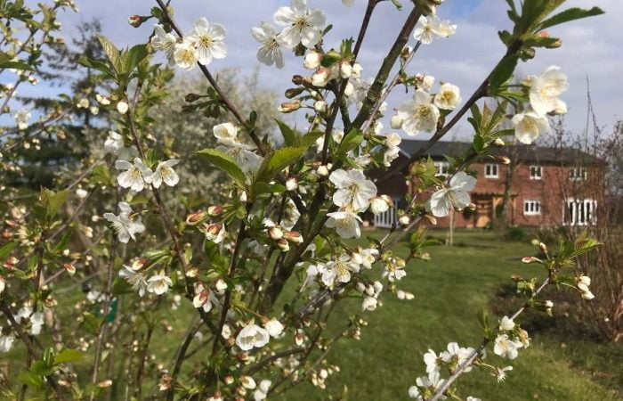 Blossom on a Cherry tree