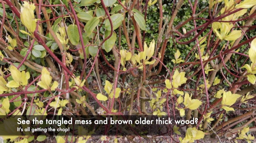 Old woody Cornus shrub